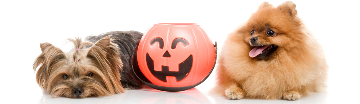 Halloween Safety Tips for Pets at Bluestar Pet Hospital in St Johns FLArea
